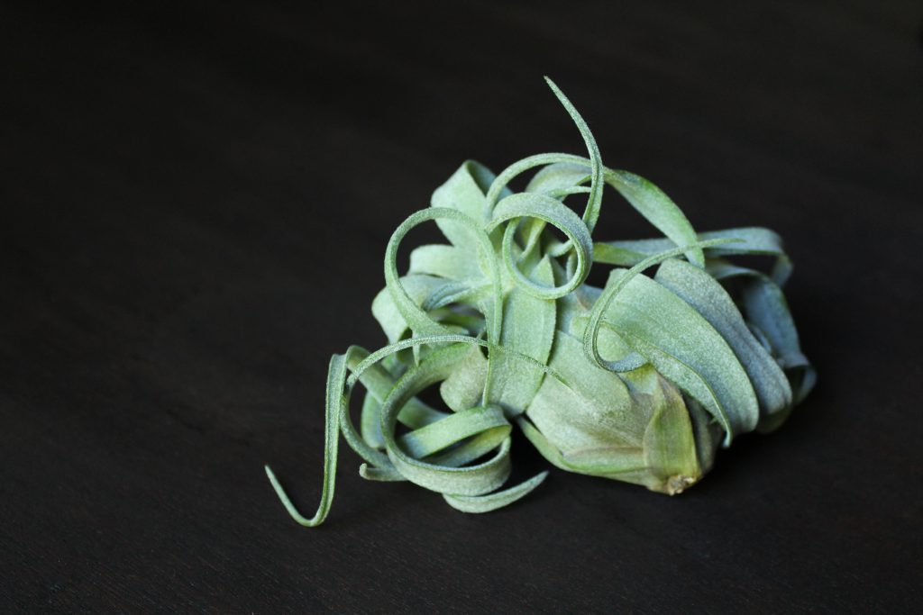 Tillandsia Streptophylla Air Plant