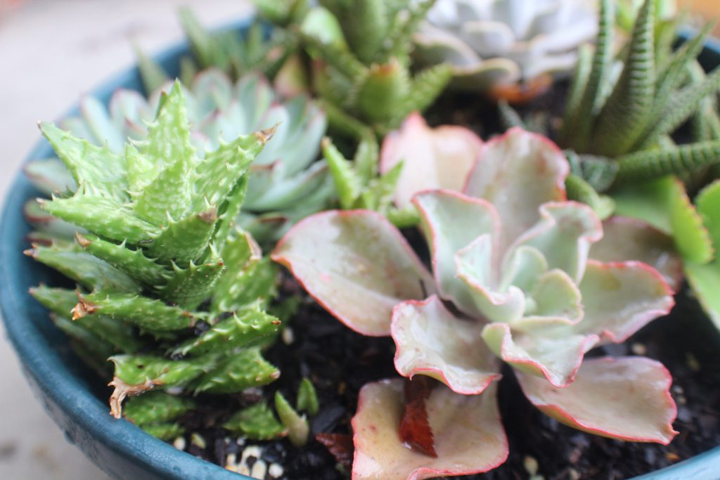 Caring for Succulents During Cold Weather