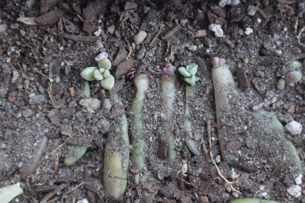 Shanika Pichey, succulent propagation during colder months
